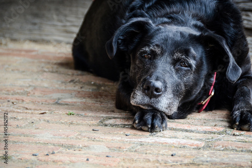 Fotografía  Old black dog lying on wooden deck