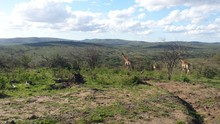 Distant Giraffes In South African Savannah
