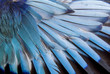 canvas print picture - Feathers of European roller