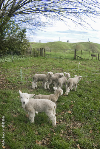 Canvas Prints Sheep Lambs in New Zealand paddicks