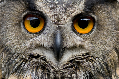Photo Stands Owl Portrait of Euroasian Eagle Owl