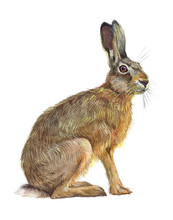 Watercolor Single Hare Animal ...
