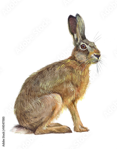 Watercolor single hare animal isolated on a white background illustration Canvas-taulu