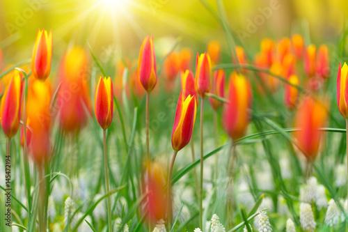 Obraz Piękny widok kolorowych tulipanów w słońcu - fototapety do salonu