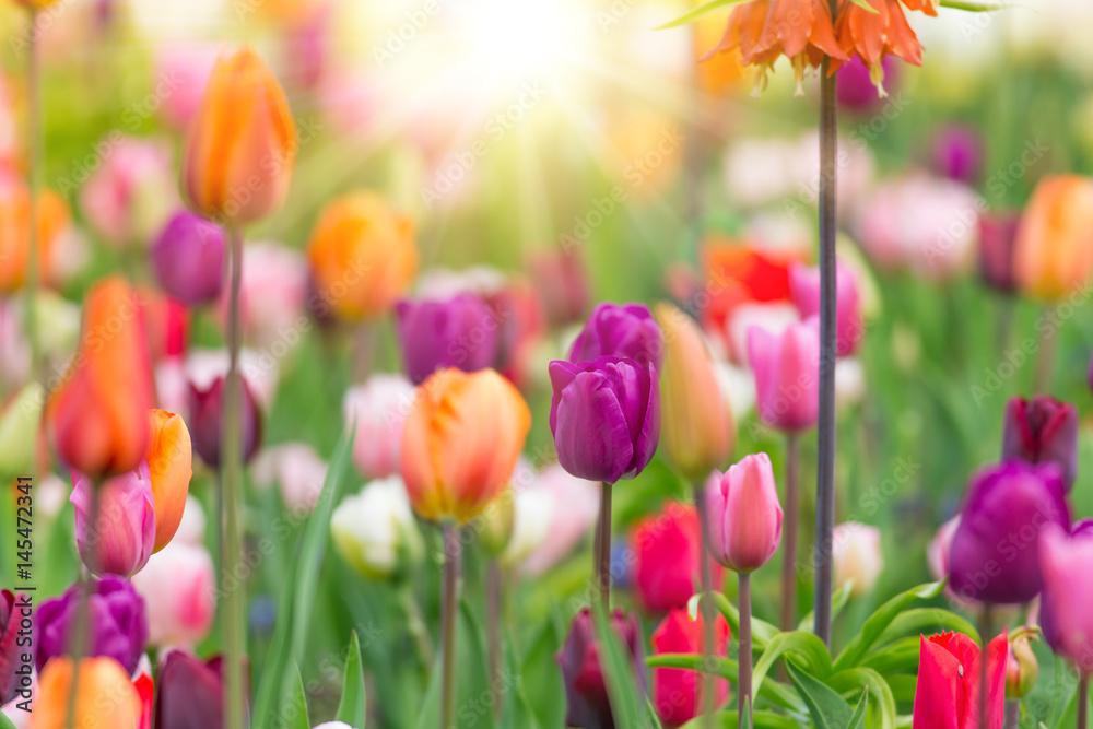 Fototapety, obrazy: Piękny widok kolorowych tulipanów