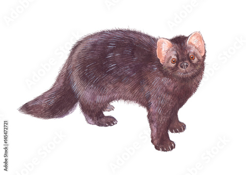 Valokuva  Watercolor single ferret animal isolated on a white background illustration