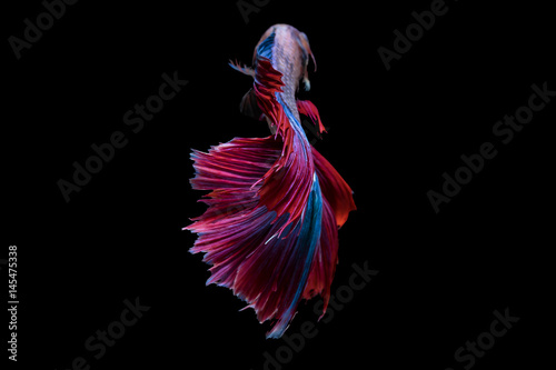 Beautiful movements of the Siamese fighting fish. Canvas Print
