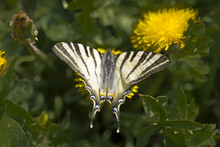 The Scarce Swallowtail (Iphicl...
