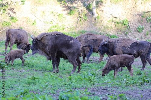 Vászonkép  Herd of European Bison (Bison bonasus) in Bieszczady National Park, Poland