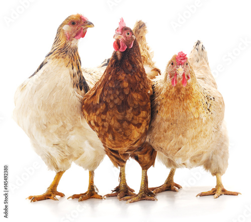 Three brown chicken.