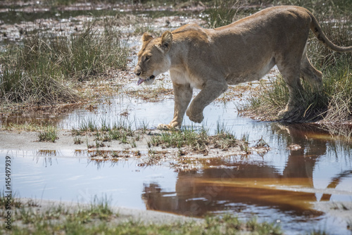 Fotografie, Obraz  Lioness Jumping over Water