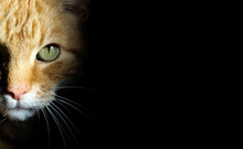 Ginger Tom Cat Creeping Out Of Shadows During Hunt With Big Green Eyes And Long White Whiskers In The Dark