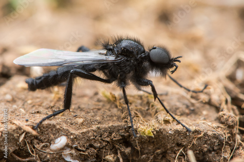 St. Mark's Fly (Bibio marci) male. Hairy black fly in the family Bibionidae with prominent compound eyes, aka hawthorn fly
