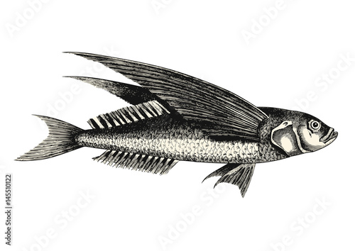 Fotografija vintage animal engraving / drawing: flying fish - vector design element