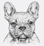 Highly detailed hand drawn French Bulldog vector illustration - 145510966