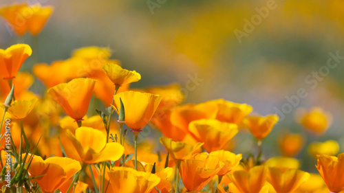 California Golden Poppy in Diamond Valley Lake, CA