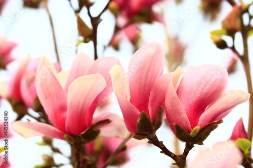 Photo  Magnolia flower