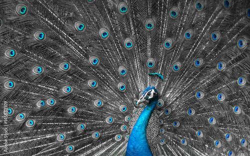 Mono tone close up of peacock showing drametic trail