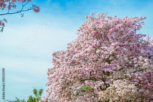 Poster Fleur Tabebuia rosea is a Pink Flower neotropical tree and blue sky
