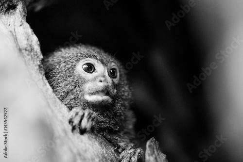 Door stickers Monkey Nieuwsgierig aapje