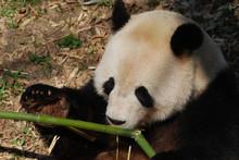 Beautiful Close Up Shot Of Giant Panda Eating Bamboo