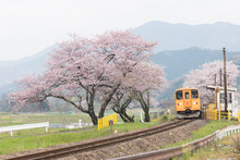 Cherry Blossoms And Trains  / ...