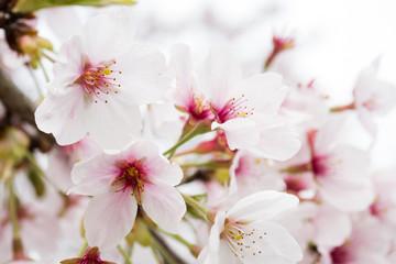 Panel Szklany Podświetlane Egzotyczne 桜の花