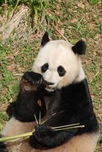 Giant Panda Bear Holding On To Bamboo While Eating