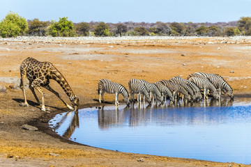 Fototapeta na wymiar Giraffe and zebras drinking at Chudop waterhole in Etosha national park, Namibia/