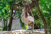 Sloth Hang On The Tree.