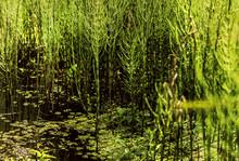 Marsh Horsetail Green