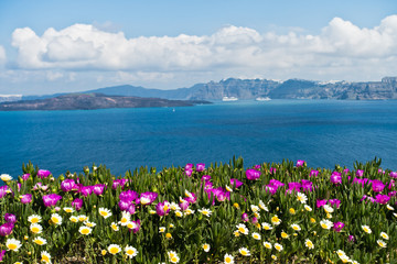 Plakat Spring flowers on Caldera at sunny morning, Santorini island, Greece
