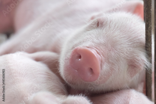 Fotomural young sleeping pig, Piglet after sucking in shed