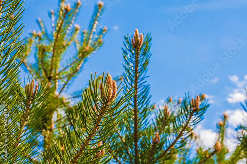 Fotografie, Obraz  Young pine branches with buds against the blue sky