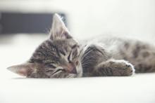 Sleeping Cute Little Tabby Kit...