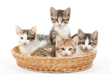 Group Of Young Kittens In The Basket