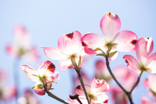 Dogwood Tree Blooms And Sky In...