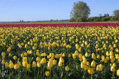 Fotografia, Obraz  Tulips