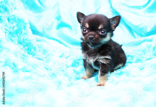 Micro Teacup Chihuahua Puppy - Buy this stock photo and