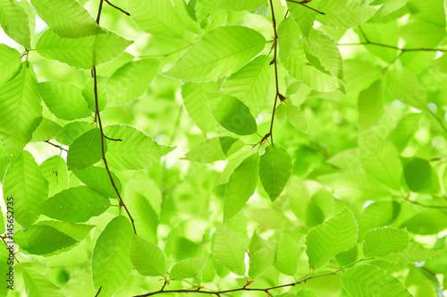 Garden Poster Spring 新緑のブナの葉