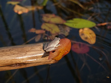 Marbled Reed Frog On End Of St...