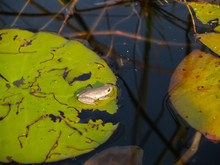 Marbled Reed Frog Sitting On L...