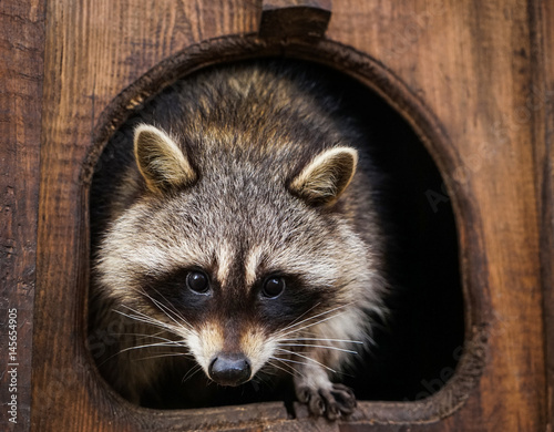 black singles in raccoon Raccoon definition: 1 a small north american animal with black marks on its face and a long tail with black rings on it2 a north american animal whose fur is mainly gray and brown, but black around the eyes, and with a thick tail learn more.