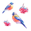 Set of watercolor bullfinches and rowan's berry. Hand painted illustrations isolated on white.