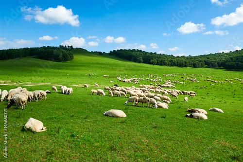 Spoed Foto op Canvas Nieuw Zeeland The flock of sheep or goats