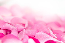 Fresh Light Pink Rose Petal B...