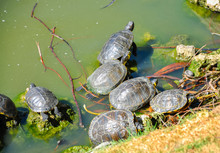 Group Of Gother Tortoises In Lake At Sunny Summer Day.