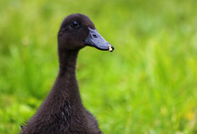 Cayuga Duckling