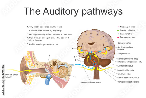 Auditory pathways. Vector graphic. Canvas Print