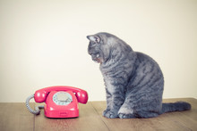 Retro Old Rotary Telephone And Big Cat Sitting On Table
